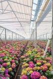 Hortênsia crescente em uma grande estufa nos Países Baixos Fotos de Stock Royalty Free