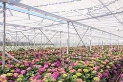 Hortênsia crescente em uma grande estufa nos Países Baixos Fotografia de Stock