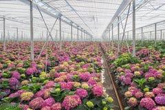 Hortênsia crescente em uma grande estufa nos Países Baixos Foto de Stock Royalty Free
