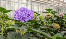 Hortênsia de florescência roxa em um berçário das flores de corte da hortênsia foto de stock royalty free