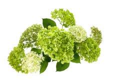 A hortênsia floresce com as folhas verdes isoladas no fundo branco Imagem de Stock