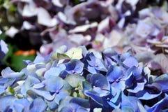 A hortênsia floresce o azul e o roxo. Foto de Stock