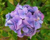 Hortênsia lilás Imagem de Stock Royalty Free