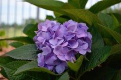 Hortênsia roxa de florescência Foto de Stock