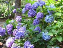 A hortênsia roxa e azul floresce (macrophylla da hortênsia) em um jardim no verão foto de stock