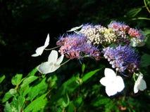 Hortênsia selvagem, flores Imagens de Stock