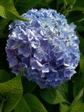 Hortênsias azuis entre as folhas verdes imagens de stock