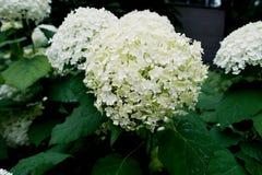 Hortênsias brancas com as folhas verdes no parque Imagens de Stock Royalty Free
