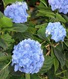 Hortênsias de várias variedades e cores foto de stock royalty free