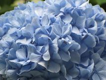 Hortênsias de várias variedades e cores Foto de Stock