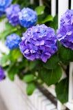 Hortênsias violetas e cerca branca imagem de stock royalty free