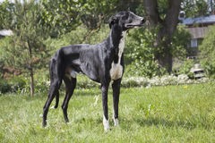 Hort greyhound dog Royalty Free Stock Photos