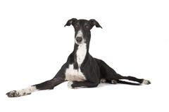 Hort greyhound dog Stock Photography
