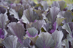 Hortaliças roxas Fotos de Stock Royalty Free