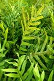 Hortaliças tropicais Fotos de Stock