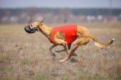 Hortaya-borzaya Hundelaufen Kursieren, Leidenschaft und Geschwindigkeit Lizenzfreie Stockbilder
