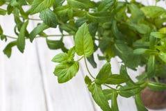 Hortelã crescente fresca como Foto de Stock Royalty Free