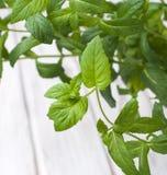 Hortelã crescente fresca como Fotografia de Stock