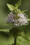 Hortelã da flor (pulegium do Mentha) imagem de stock royalty free