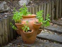 Hortelã do jardim em um potenciômetro imagem de stock