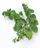 Hortelã - ervas aromáticas foto de stock