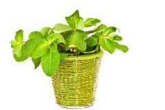 Hortelã fresca em uma cubeta decorativa Fotografia de Stock
