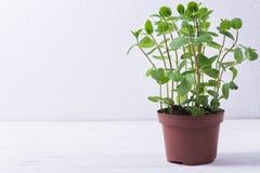 Hortelã fresca no potenciômetro Fotografia de Stock Royalty Free