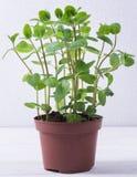 Hortelã fresca no potenciômetro Foto de Stock Royalty Free
