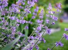 Hortelã roxa Herb Flowers que cresce exterior em um jardim, mediterran imagem de stock