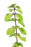 Hortelã selvagem (arvensis do Mentha) isolada no branco Imagem de Stock Royalty Free