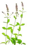 Hortelã (spicata do Mentha) fotografia de stock royalty free