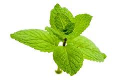 Hortelã verde Fotografia de Stock