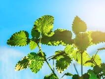 Hortelã verde Bush no fundo do céu azul fotos de stock