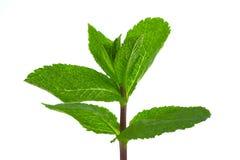 Hortelã verde fresca imagem de stock royalty free
