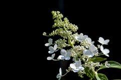 Hortencia blanco foto de archivo