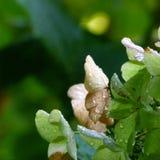 hortensi liść dąb Zdjęcie Stock