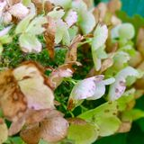 hortensi liść dąb Obrazy Stock
