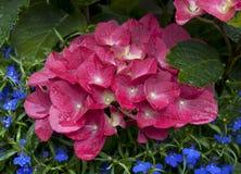 hortensi macrophylla Zdjęcia Royalty Free