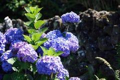 hortensi macrophylla Obrazy Stock