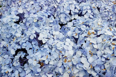 hortensi macrophylla Obraz Stock