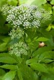 hortensi paniculata Obraz Stock