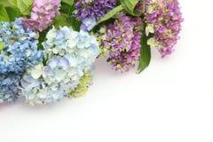 Hortensia à un arrière-plan blanc Image stock