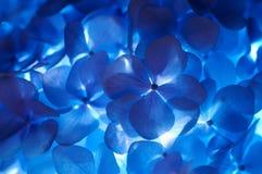 hortensia цветка Стоковые Фотографии RF