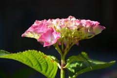 hortensia Fotos de archivo