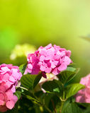 Hortensia Stock Images