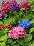 Hortensia Royalty Free Stock Photos