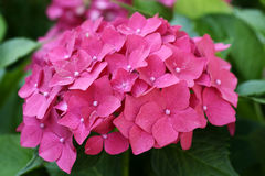 Hortensia Royalty Free Stock Photo
