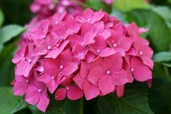 hortensia Стоковое фото RF
