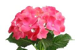 Hortensia Imagem de Stock