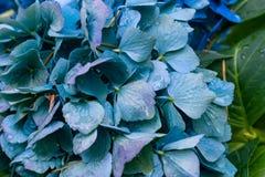 Hortensia ascendente cercana del azul Fotos de archivo libres de regalías